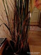 Műnövény afrikai fű sás