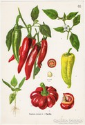 Paprika, színes nyomat 1961, növény, zöldség
