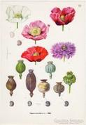 Mák, színes nyomat 1961, növény, virág