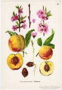 Őszibarack, színes nyomat 1961, növény, gyümölcs, virág