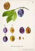 Szilva II., színes nyomat 1961, növény, gyümölcs