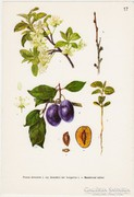 Szilva I., színes nyomat 1961, növény, gyümölcs