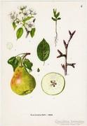 Körte I., színes nyomat 1961, növény, gyümölcs, virág