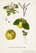 Alma I., színes nyomat 1961, növény, gyümölcs