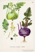 Karalábé, színes nyomat 1961, növény, zöldség