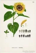 Napraforgó, színes nyomat 1961, növény