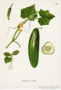 Uborka, színes nyomat 1961, növény, zöldség
