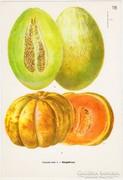 Sárgadinnye, színes nyomat 1961, növény, gyümölcs