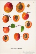Kajszibarack II., színes nyomat 1961, növény, gyümölcs
