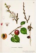 Kajszibarack I., színes nyomat 1961, növény, gyümölcs