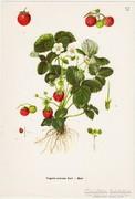Eper, színes nyomat 1961, növény, gyümölcs