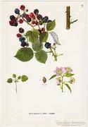 Szeder, színes nyomat 1961, növény, gyümölcs