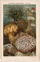 Tengeri anemonák II., színes nyomat 1894, tenger, tengerirózsa, virágállat, aktinia, anemona