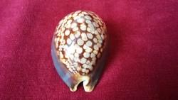 Porcelán csiga porceláncsiga Cypraea mauritiana - RITKA !