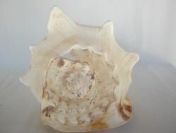 Nagy tengeri csiga kagyló