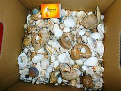 Egy doboz tengeri kagyló!