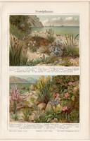 Parti növények, színes nyomat 1908, német nyelvű, eredeti, litográfia, növény, virág, tenger, part