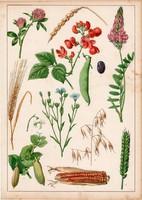 Kukorica, búza, bab, borsó, baltacim, tönköly, litográfia 1880, eredeti, 24 x 34 cm, nagy méret