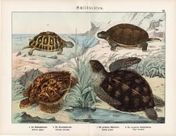 Mocsári teknős, mór teknős, cserepesteknős, litográfia 1890, eredeti, 32 x 41 cm, nagy méret