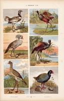 Dobosdaru, takahe és szalonka, homokjáró, strucc, litográfia 1885, eredeti, 26 x 42 cm, madár, álla