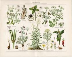 Mérgező növények I., litográfia 1903, német nyelvű, eredeti, színes nyomat, növény,virág, méreg