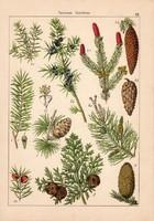 Tiszafa, toboztermők és békalencse, békaszőlő, kontyvirág, gyékény, litográfia 1885, 21 x 30 cm