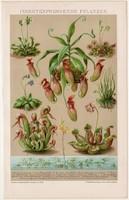 Rovarevő növények, litográfia 1895, színes nyomat, német nyelvű, növény, húsevő, Kalifornia, régi