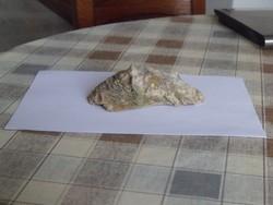 Kagyló fosszilia