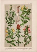 Magyar növények (40), litográfia 1903, színes nyomat, virág, vicsorgó, kakastaréj, csormolya