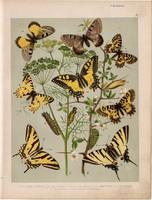 Magyarország lepkéi (2), litográfia 1907, színes nyomat, lepke, pillangó, hernyó, alexanor, cerisyi