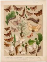 Magyarország lepkéi (26), litográfia 1907, nyomat, lepke, pillangó, hernyó, Arctornis L. nigrum