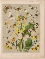 Magyarország lepkéi (4), litográfia 1907, színes nyomat, lepke, pillangó, hernyó, Rapae, Napi