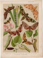 Magyarország lepkéi (19), litográfia 1907, nyomat, lepke, pillangó, hernyó, Deilephila Livornica