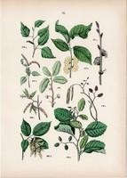 Mezei szil, mézgás éger, molyhos nyír, gyertyán, antiaris toxicaria litográfia 1884, növény, fa