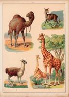 Zsiráf, teve, dromedár, láma, litográfia 1880, eredeti, 24 x 34 cm, nagy méret, állat, Afrika, dél