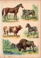 Ló, szamár, zebra, szarvasmarha, bölény, litográfia 1880, eredeti, 24 x 34 cm, nagy méret, állat