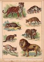 Ragadozók, oroszlán, jaguár, puma, vadmacska, litográfia 1880, eredeti, 24 x 34 cm, nagy méret