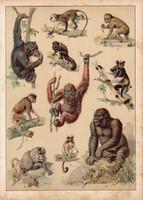 Majom, gorilla, orángután, makákó, pávián, litográfia 1880, eredeti, 24 x 34 cm, nagy méret, állat