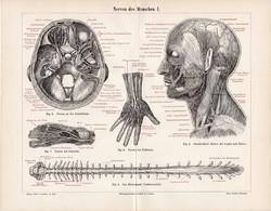 Idegrendszer (2), litográfia 1896, német, színes nyomat, anatómia, gyógyászat, ember, ideg, gerinc