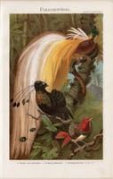 Paradicsommadár (2), litográfia 1896, német nyelvű, eredeti, színes nyomat, madár, toll