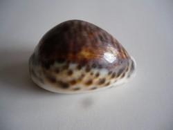 Tigrismintás kagyló, csigaház