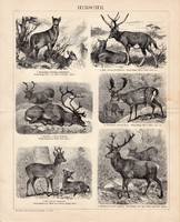 Szarvas, egyszínű nyomat 1893, német, eredeti, dámvad, őz, rénszarvas, dávid-szarvas, állat, vad