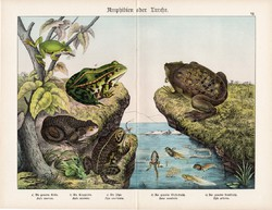 Varangy, zöld levelibéka, kecskebéka, pipabéka, litográfia 1920, eredeti, 32 x 41 cm, nagy méret