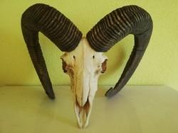 Gyönyörű muflon trófea, 1970 körüli agancs koponya fogakkal szép állapotban