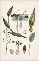 Kontyvirág, békatutaj, kommelína és csavarpálma, litográfia 1885, eredeti, 26 x 42 cm, növény, nagy