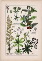 Arab kávé, festő buzér, galaj és macskagyökér, mezei varfű, litográfia 1895, 17 x 25 cm, növény