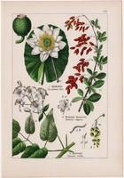 Tündérrózsa, iszalag, sóskaborbolya és borkóró, kökörcsin, májvirág, litográfia 1895, 17 x 25 cm