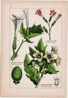Bolondító beléndek, dohány és keserű csucsor, nadragulya, lampionvirág, litográfia 1895, 17 x 25 cm
