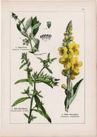 Magiszák, ökörfarkkóró, gyöngyköles és kakastaréj, csormolya, litográfia 1895, 17 x 25 cm, növény