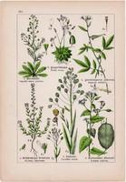 Gomborka, daravirág, holdviola és vadretek, festőcsülleng, rezeda litográfia 1895, 17 x 25 cm, virág